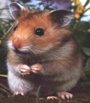 Greutatea Hamster & ghidare cântărire