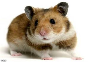 pierderea în greutate hamster mental