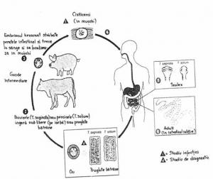 ciclul de dezvoltare a teniei bovine
